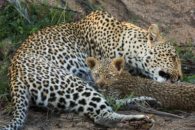 mother, cub, sabi, sands, south, africa, ten, week, old, leopard, nursing, cleans, tongue,
