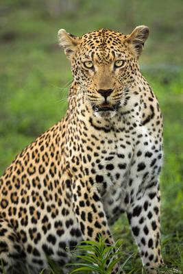 leopard, sabi, sands, south, africa, portrait, female, safari, game, reserve,