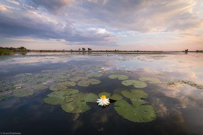 okavango, sunset, delta, botswana, night-blooming, waterlily, sunset, river,