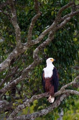 african, fish, eagle, poses, high, tree, mara, above, masai, kenya, africa