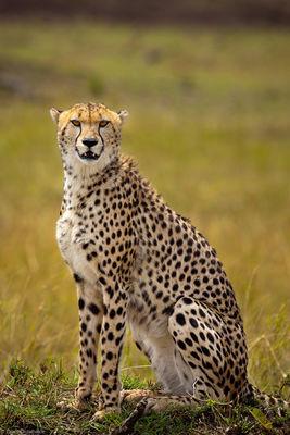 cheetah, masai, mara, kenya, africa, beautiful, creature, fastest, mammal, earth, sprint, speeds, amazing, favorite, saf