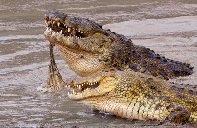 croc, kill, masai, mara, kenya, africa, crocodiles, fight, carcass, dead, wildebeest, two