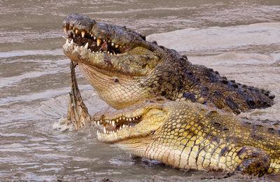 croc, kill, masai, mara, kenya, africa, crocodiles, fight, carcass, dead, wildebeest, two