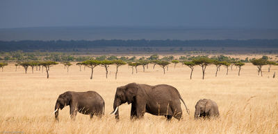 elephant, panorama, masai, mara, kenya, africa, trio, walks, across, grasslands