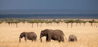elephant, panorama, masai, mara, kenya, africa, trio, walks, across, grasslands
