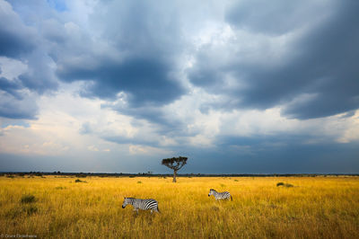 zebra, sky, masai, mara, kenya, africa, moment, safari, two, stormy, under,
