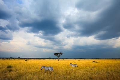 zebra, sky, masai, mara, kenya, africa, moment, safari, two, stormy, under,