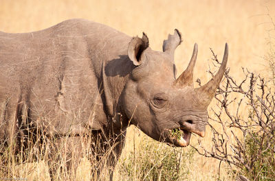 black, horned, rhino, masai, mara, kenya, africa, rare, poachers, animals