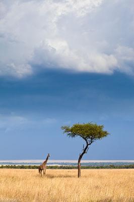 giraffe, acacia, tree, masai, mara, kenya, africa, coming, storm, under