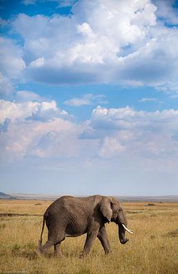 elephant, masai, mara, kenya, africa, lone, walks, stride, grasslands, beautiful sky