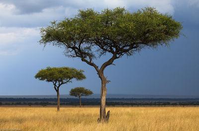 three, acacias, acacia, trees, mara, masai, safari, africa, kenya