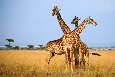 three, headed, giraffe, masai, mara, kenya, africa, wildlife, moments,