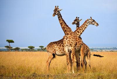 three, headed, giraffe, masai, mara, kenya, africa, wildlife, moments,