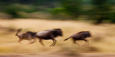 wildebeest, run, masai, mara, national reserve, kenya, africa, running
