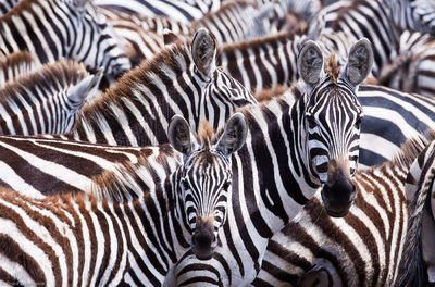 zebras, masai, mara, kenya, africa, migration, tanzania, safari, hundreds, thousands, tanzania, beautiful, incredible,