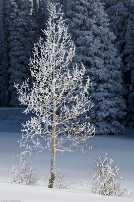 frosted, aspen, steamboat, springs, colorado, usa, rabbit, ears, pass,