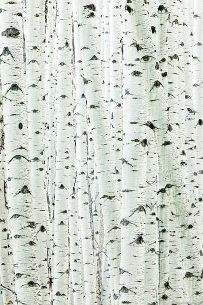 aspen, trunk, detail, grove, colorado,