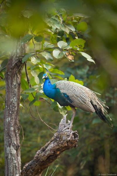 indian, india, peacock, bandhavgarh, national, park, tree,