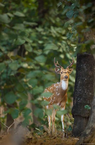 spotted, deer, bandhavgarh, national, park, india, trees