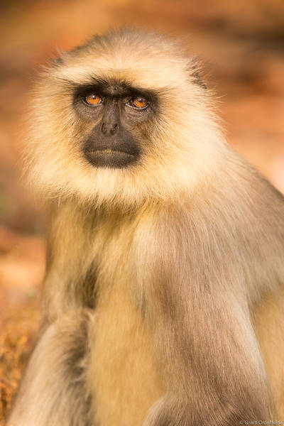 langur, monkey, portrait, bandhavgarh, national, park, india,