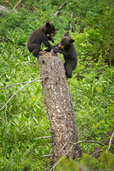 black, bear, cubs, playing, yellowstone, national, park, wyoming, couple, stump