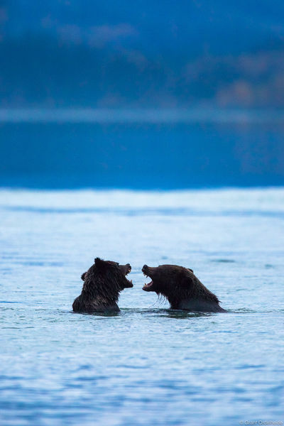 Yelling Bears