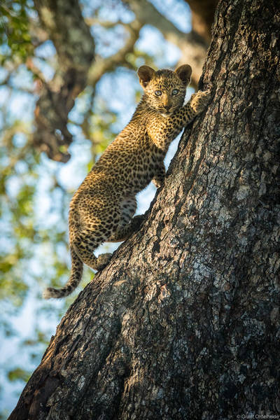 leopard, cub, sabi, sands, south, africa, ten, week, climbing, tree, mothers, impala, kill