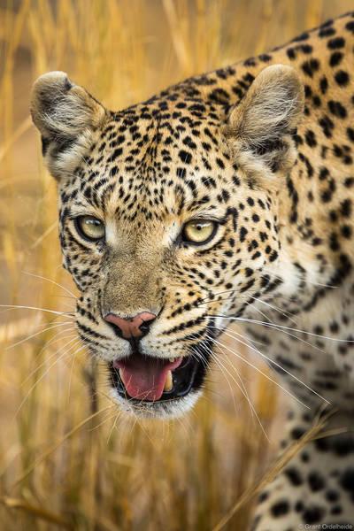 botswana, safari, leopard, portrait, view, okavango, delta, botswana, female,