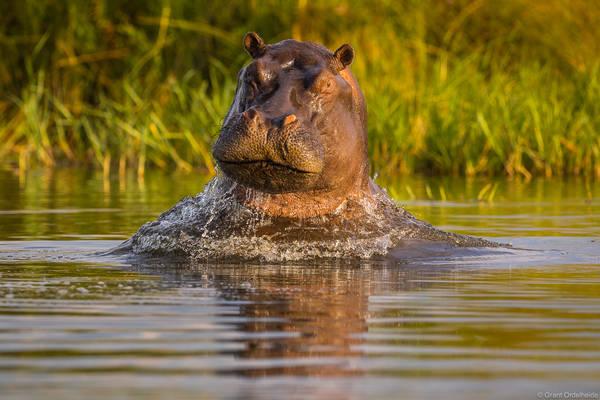 breaching, hippo, okavango, delta, botswana, hippopotamus, water, safari,