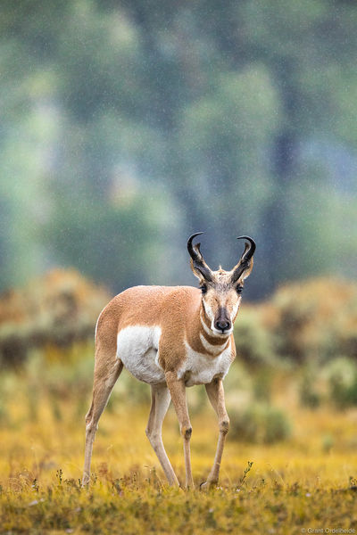 pronghorn, rainstorm, grand, teton, national, park, wyoming, torrential,