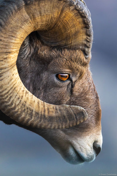 bighorn, profile, badlands, national, park, south, dakota, sheep, ovis canadensis,