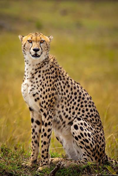 cheetah, masai, mara, kenya,