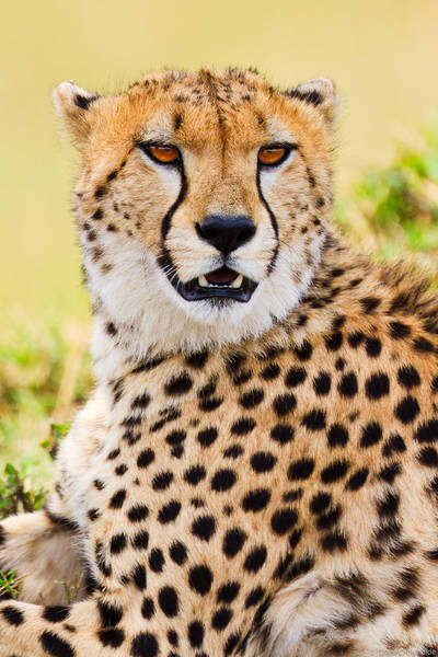cheetah, portrait, masai, mara, kenya, africa