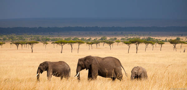 elephant, panorama, masai, mara, kenya, trio, walks, grasslands
