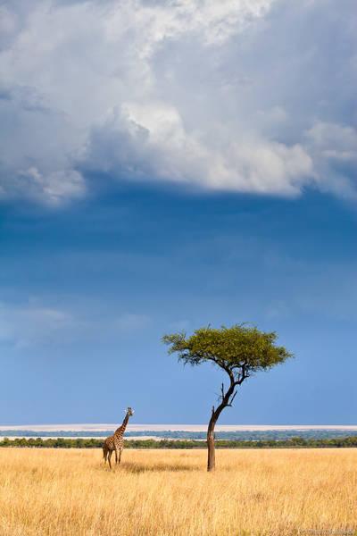 giraffe, acacia, tree, masai, mara, kenya, storm