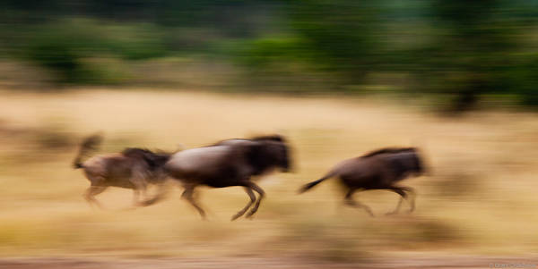 wildebeest, run, masai, mara, national reserve, kenya, africa, running