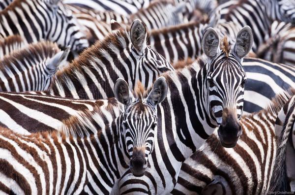 zebras, masai, mara, kenya, mother, foal, zebra