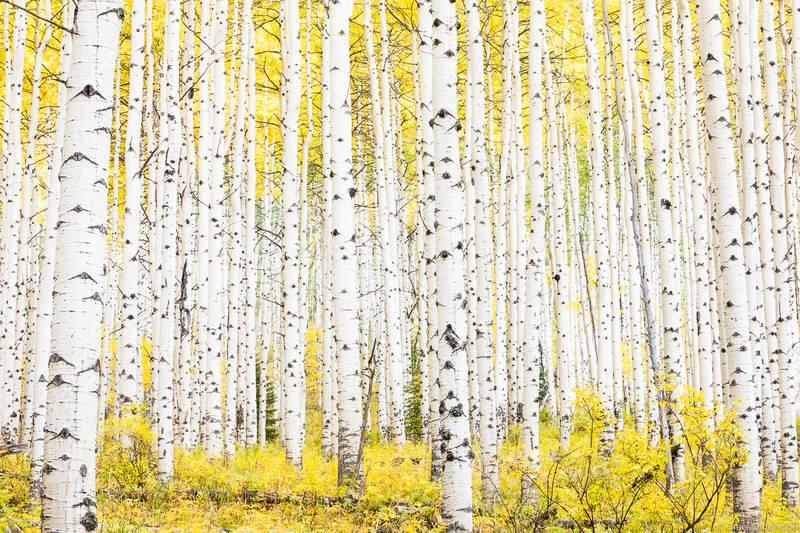 aspen, colorado, grove, autumn, dense, golden, fall, season