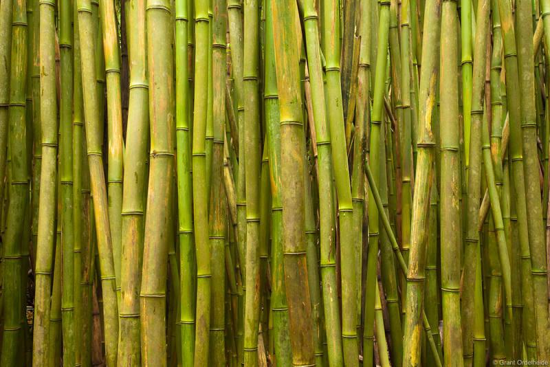 bamboo, forrest, haleakala, national park, maui, hawaii, thick, road to hana,