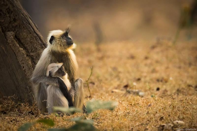 mother, child, langur, bandhavgarh, national, park, monkeys,