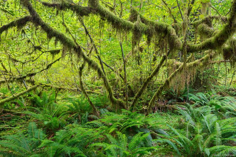 vine, maple, olympic, national, park, washington, hoh, rainforest