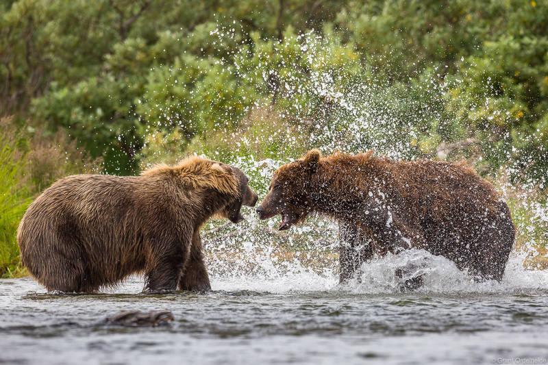 Territorial Bears