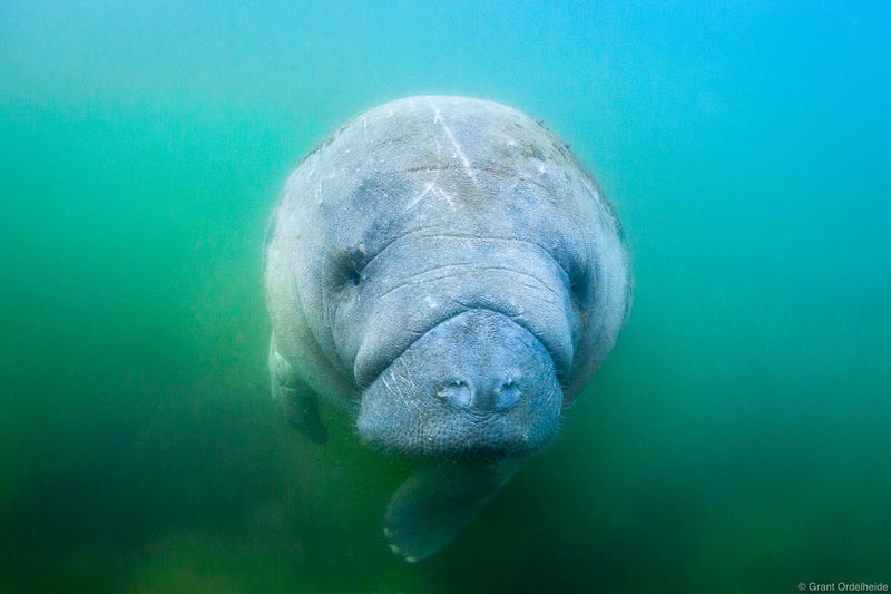 manatee, crystal, river, florida, floating, waters