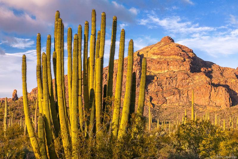 ajo, evening, organ, pipe, cactus, national, monument, arizona, ajo, mountains,