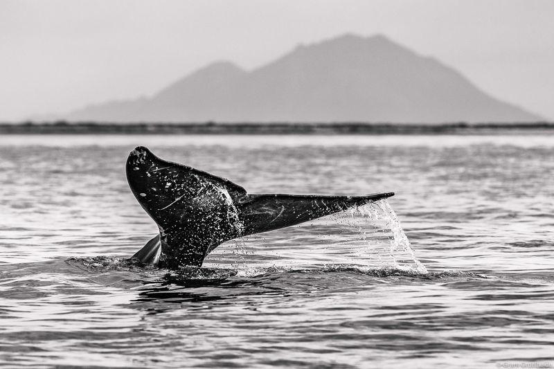 whale, tail, baja, california, sur, mexico, eschrichtius robustus, san ignacio, lagoon