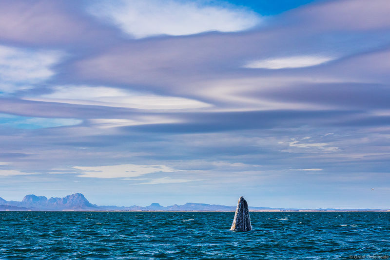 san ignacio, lenticular, gray, whale, eschrictius robustus, surfacing, clouds, mexico, baja, california, sur, lagoon,