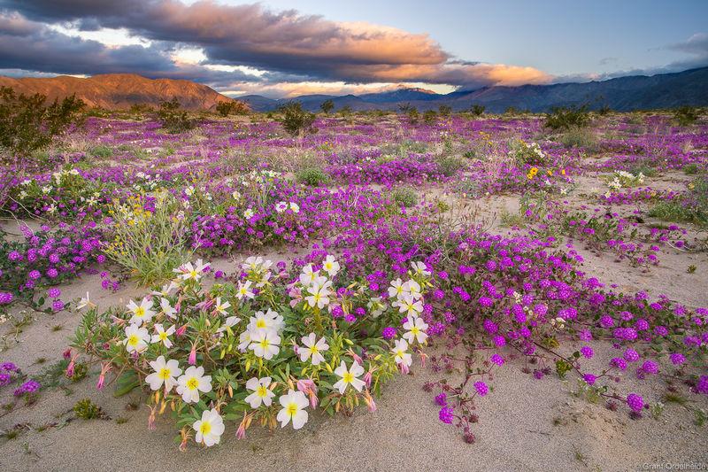anza, borrego, springs, wildflowers, California, spring, desert, state park,