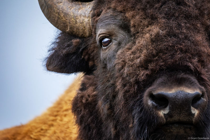 bison, portrait, yellowstone, national, park, wyoming, close,