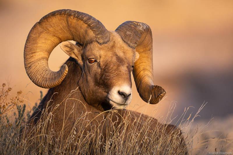 bighorn, sunset, badlands, national, park, south, dakota, sheep, ovis canadensis,