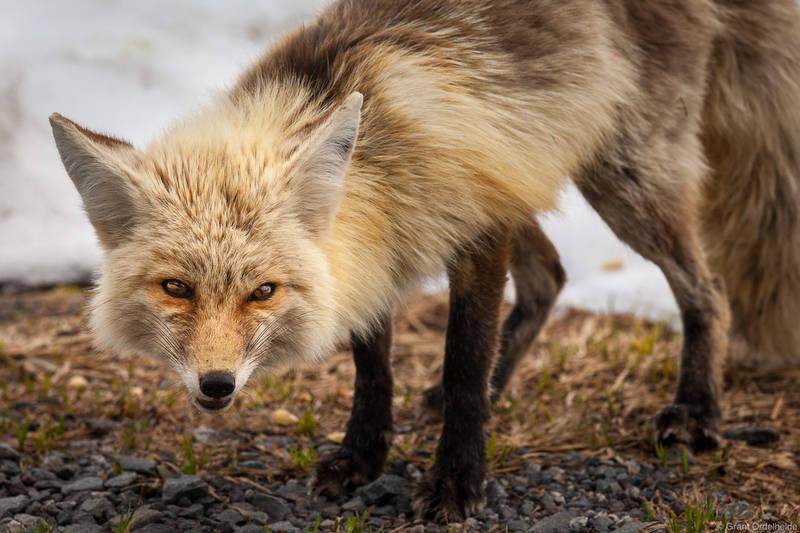 cascade, fox, red, washington, mount, rainier, national park